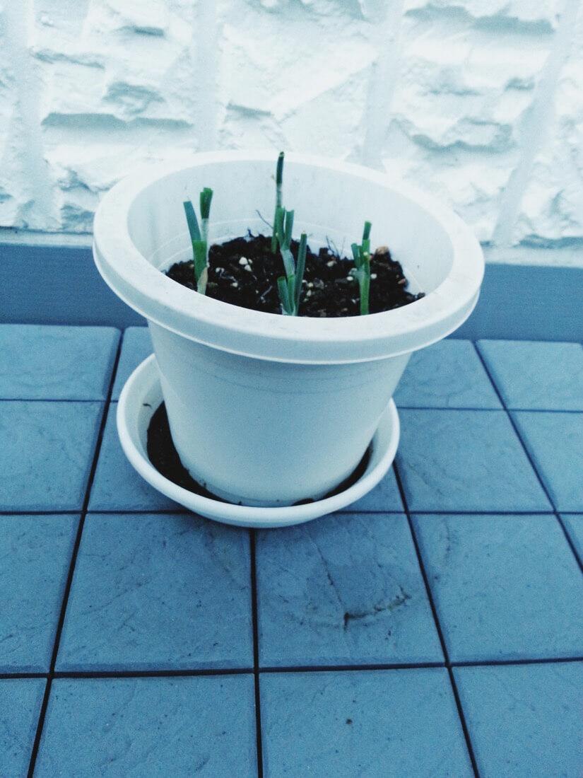 葉ネギの栽培-1