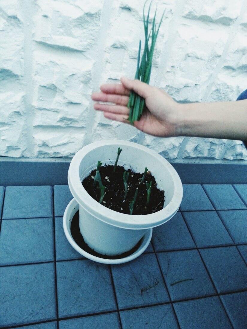 葉ネギの栽培-3